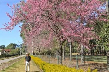 Hanami: festival de piquenique sob as cerejeiras ocorre em Nova Lima