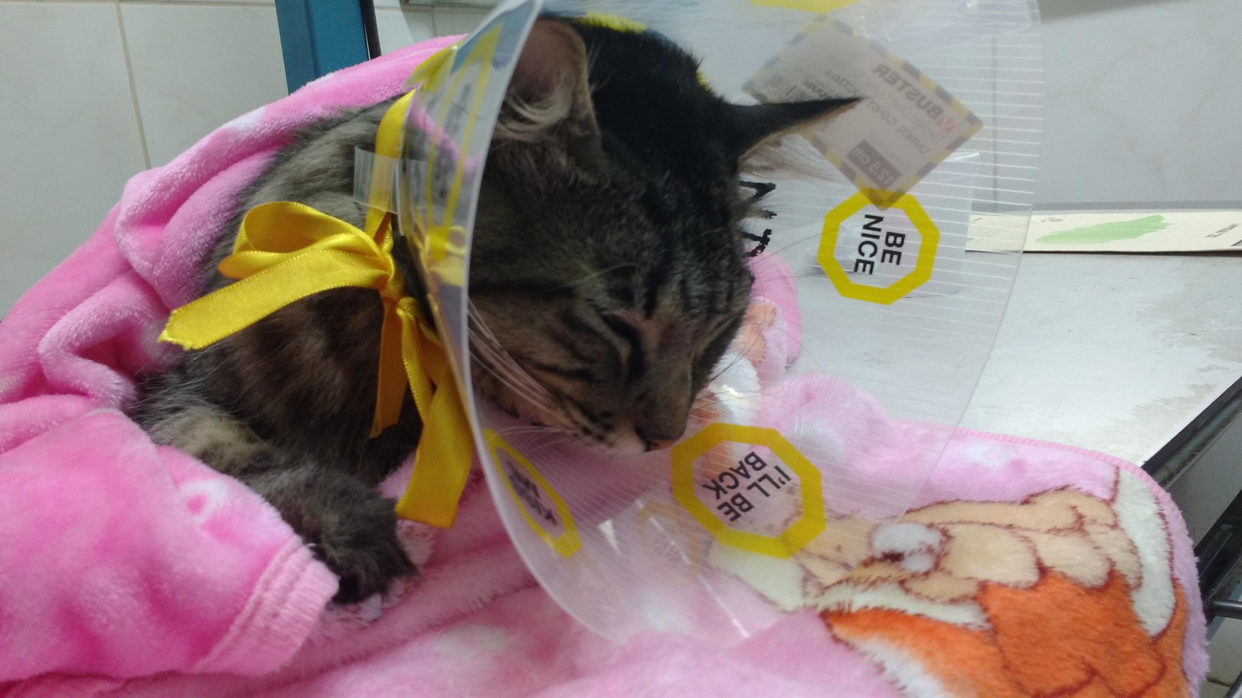 sangre de emergencia en orina de gato