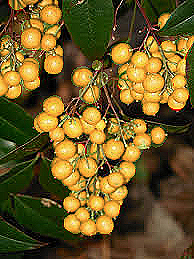 butterberries