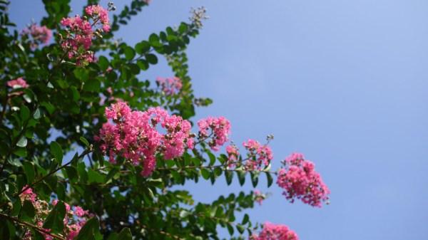 サルスベリ 2014.7.16 東京都練馬区