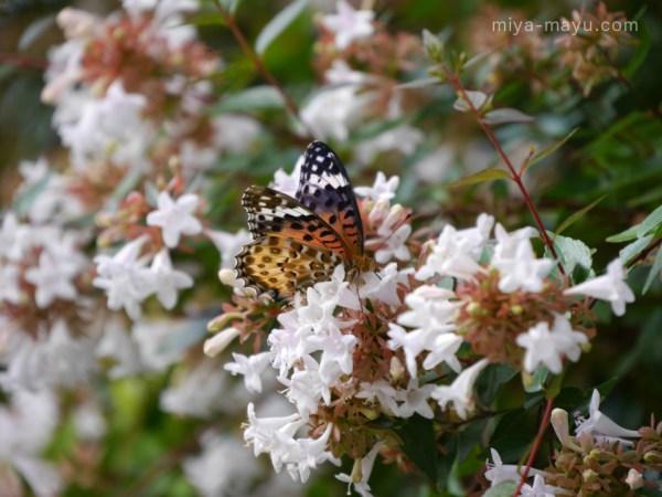 マダラ蝶とアベリア 2014.9.27 東京都豊島区