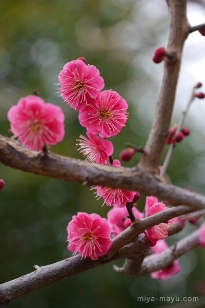 紅梅 2015.02.07 東京都世田谷区・羽根木公園・梅まつり