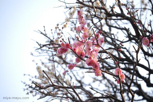 二色の梅 2015.03.13 東京都練馬区・長命寺