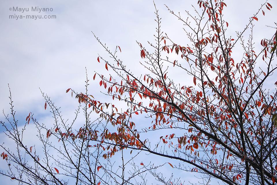 赤くなるサクラの葉、「さくらもみじ(桜紅葉)」が美しい。(ソメイヨシノ)