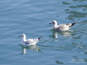 ユリカモメ(左)と、カモメの若鳥?(右) 2015.12.20 東京都港区・浜離宮恩賜庭園