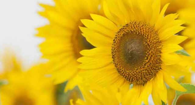 ひまわりの種類・色ごとの花言葉と由来について!ロシアの国花である理由は?