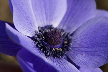 crown-anemone-283777_640