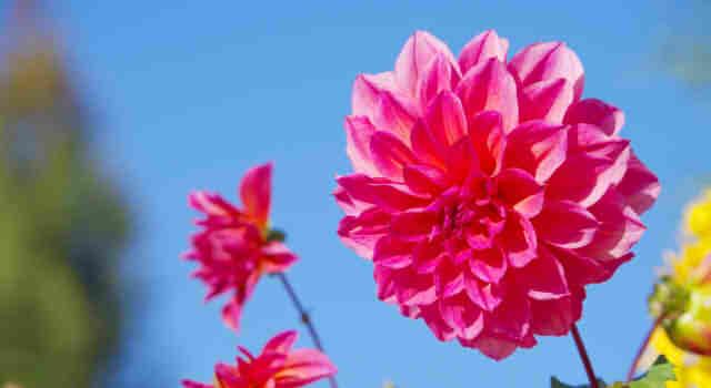 ダリアの色別の花言葉!黄色、赤、白の意味は?ピンクや紫、オレンジに花言葉はあるの?