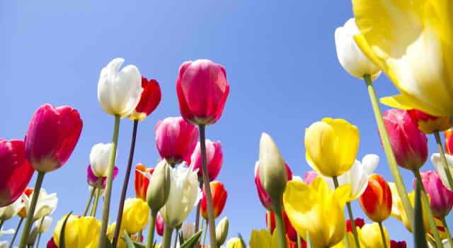 チューリップの花言葉を色別で紹介!赤、黄色、黒、オレンジ、ピンクなど…種類ごとの意味は?
