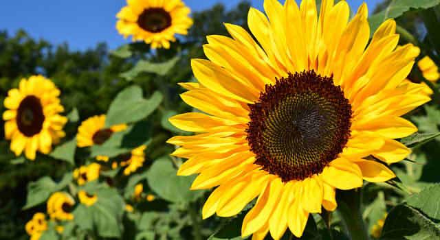sunflower-1627193_6402222