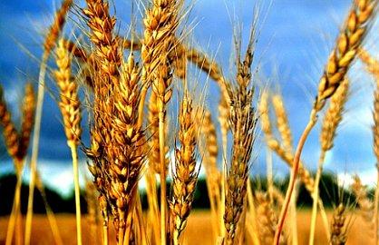 Rijaset organizuje prikupljanje zekata na poljoprivredne proizvode