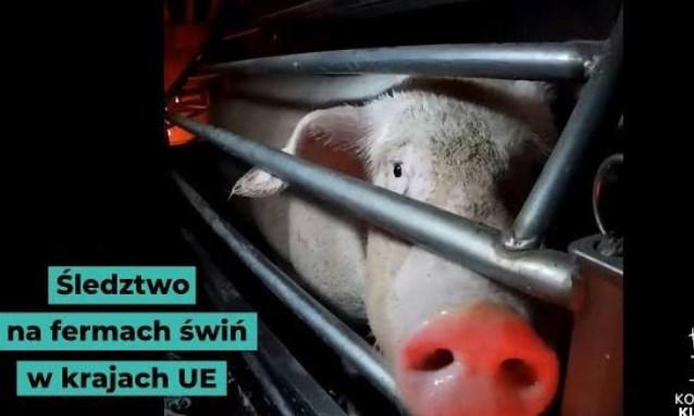 """Śledztwo na fermach świń ujawnia, skąd pochodzi """"luksusowe mięso"""""""
