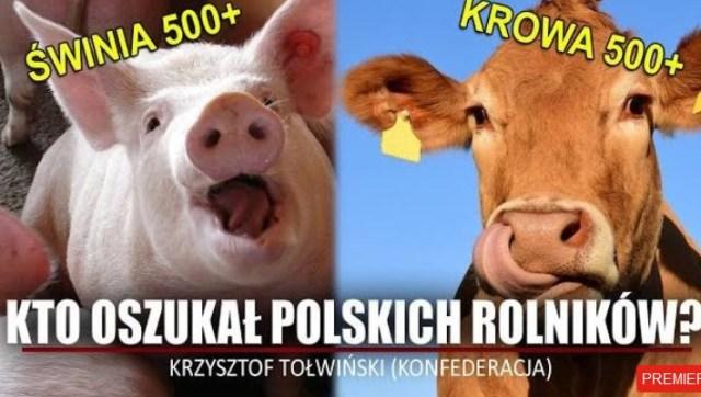 SKANDAL! Polscy rolnicy OSZUKANI! Krowa 500+, Świnia 500+!