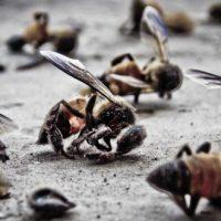Kalifornia: Przechodzen filmuje, jak martwe pszczoły spadają na ziemie między dwiema antenami 5G !!