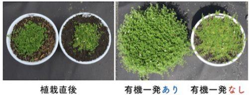 クラピア肥料ありの成長の早さ比較