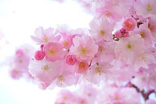 japanese-cherry-trees-324175_640.jpg