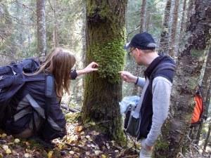 Henry Åkerström och Cecilia Nilsson från Mossornas vänner undersöker den ovanliga aspfjädermossan, Neckera pennata, vid mossinventeringen 2010. Foto Sofia Lundell.