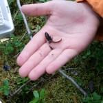 Här har vi en liten salamander.