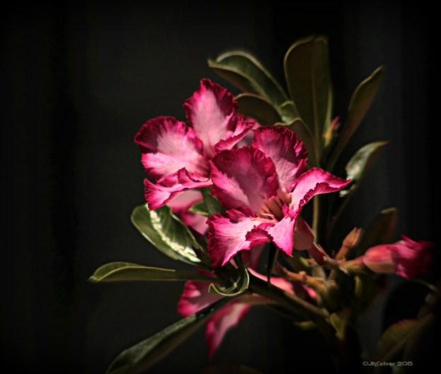 Joey- Desert Rose