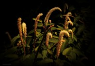 Joey- Lizard Tails