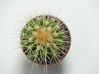 golden-ball-cactus-59890__180