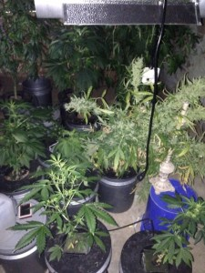 Marijuana Plants at Fisher's Home