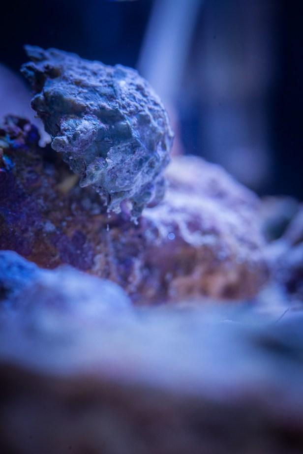 Astraea caelata 'Spiny'
