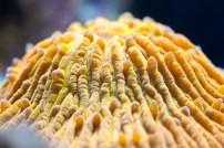 LPS Coral : Cycloseris sp.