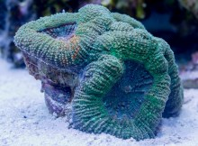 Acanthastrea bowerbanki coral frag at my aquarium with green, blue and orange colors.