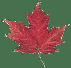 Canadian_maple_leaf_250x239