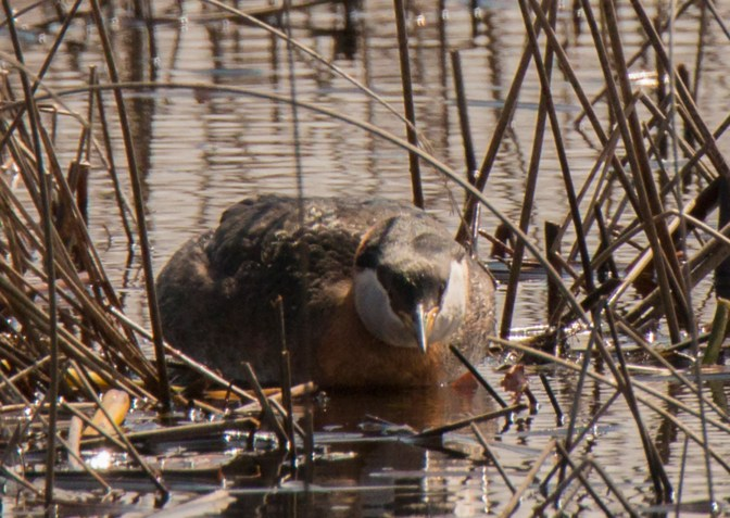 Female lies flat in the reeds