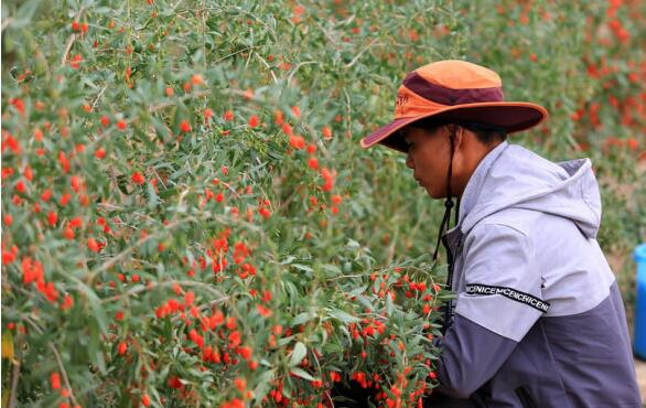 goji berries  picking