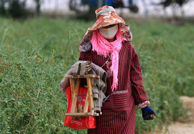 Chinese wolfberry picking