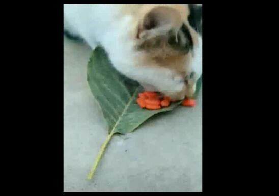 cat loves to eat goji berries