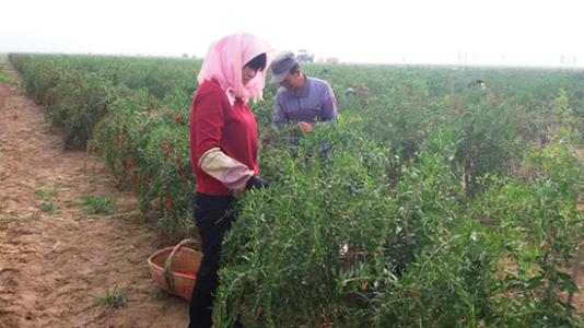 How To Solve The Problem Of Lycium Barbarum Pests And Diseases
