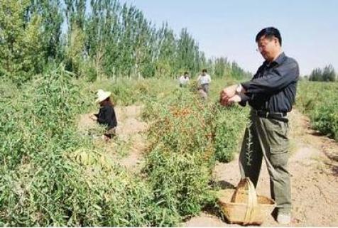 Goji berries (Wolfberry) Industry