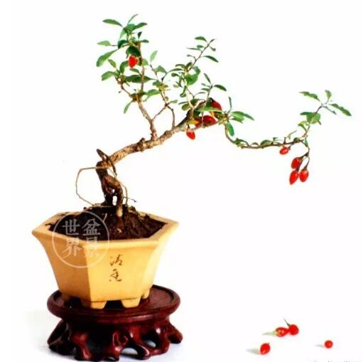 goji tree bonsai