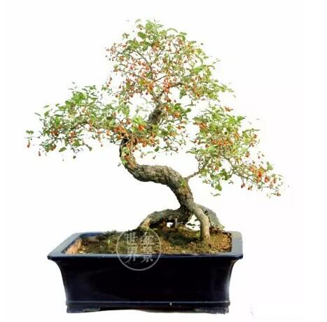 goji tree bonsai in china