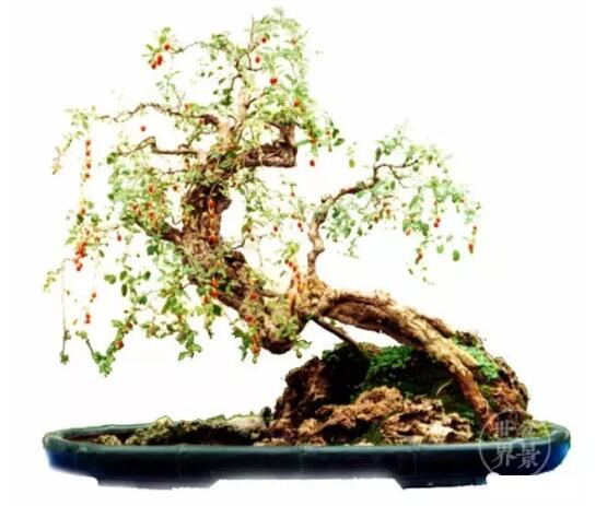 goji berries sapling bonsai