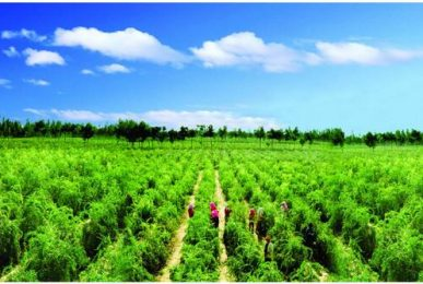 wolfberry cultivation technology
