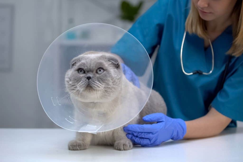 gray cat with cone at vet