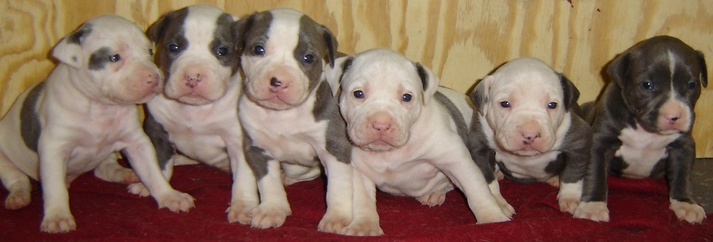 Image result for newborn pitbull puppies