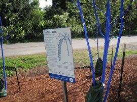 Sign explaining blue trees in Bothell WA