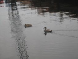 Ducks taking on a crane in the water...get em!