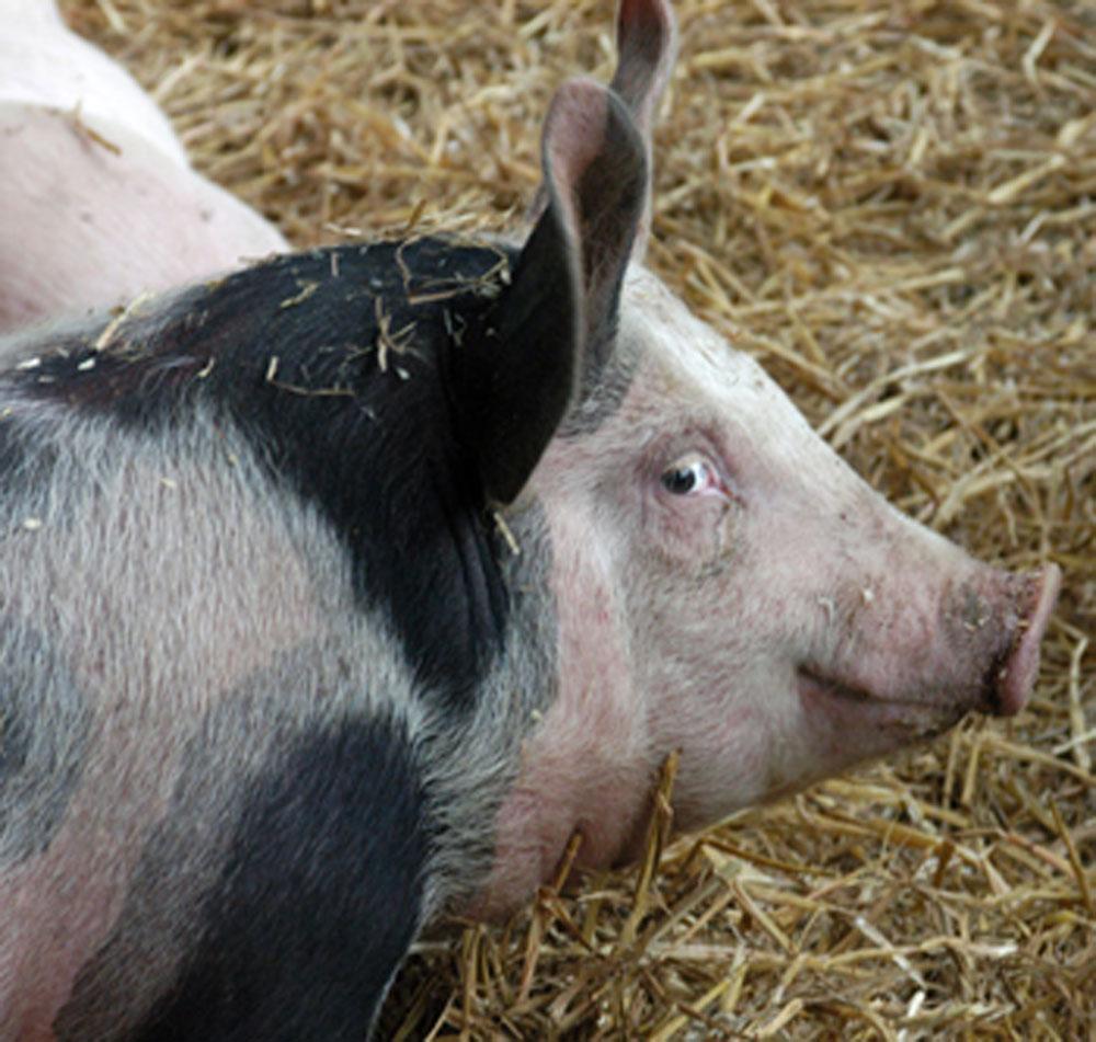 domestic_pig