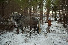 Using draft horses to haul logs