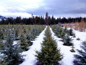 blue spruce in rows