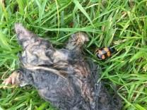 Sexton beetle on a dead mole ©Julie Lane, Olney 23 August 2017