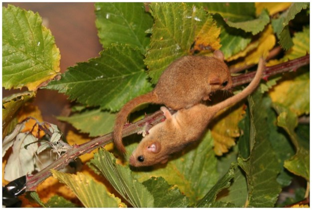 Orphaned hand reared Dormice ©Paul Manchester 25Jan15