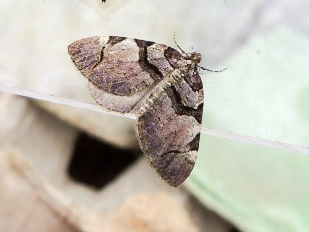 Streamer moth